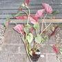 Begonia_evansiana_grandis_subsp