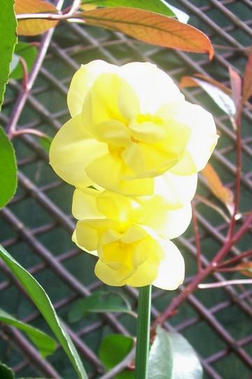 Yellow Cheerfulness (Narcissus)