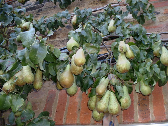 Espalier trained Conference pear  (Pyrus communis (Pear))