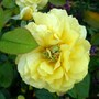 "Proliferation on Toulous Lautrec rose bloom (Rosa 'Meirevolt' ""Toulouse-Lautrec"")"