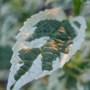 Caryopteris divaricata