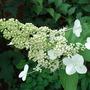 Hydrangea_paniculata_tardiva_