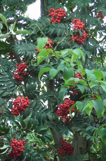 sorbus aucuparia 39 fastigiata 39 berries grows on you. Black Bedroom Furniture Sets. Home Design Ideas