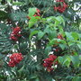 Sorbus_aucuparia_fastigiata_berries_