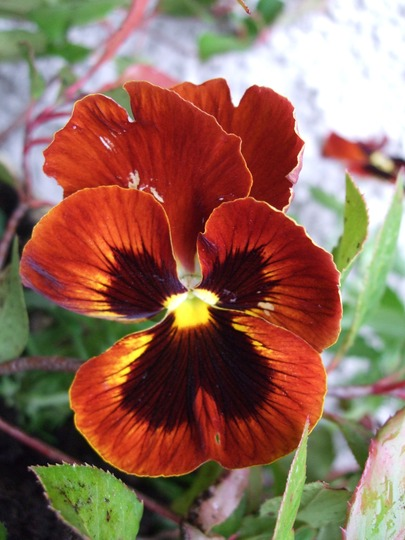 Bright Pansy