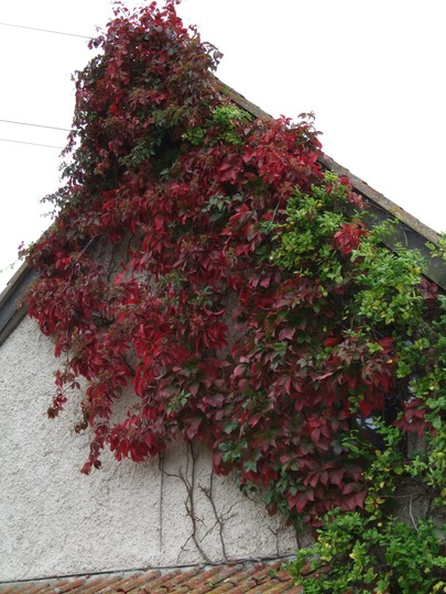 Vine on the back of the house. (Parthenocissus quinquefolia)