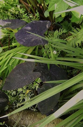 The Stream. (Colocasia esculenta (Dasheen))