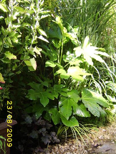 Fatsia cutting doing well. (Fatsia japonica (Japanese aralia))