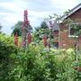 Lupins in kitchen garden