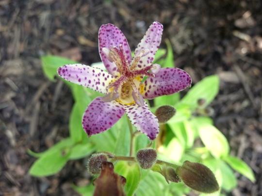 Toad Lily  - Tricyrtis formosana (Tri)