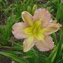 daylily 'Innerview' (hemerocallis)