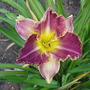 Daylily 'Storm of the Century' (Hemerocallis)