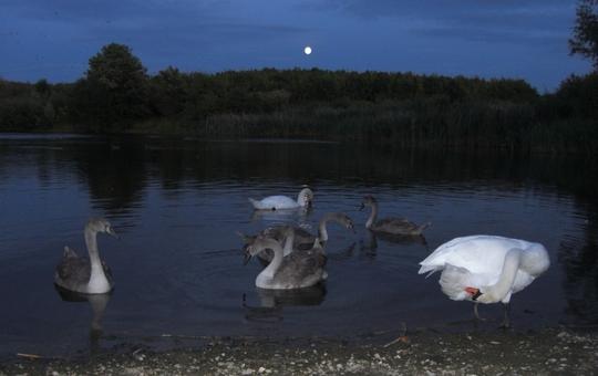 Moonlight Swans at Bedfont Lakes