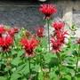 Monarda 'Cambridge Scarlet' (Monarda dydima (Bergamot))