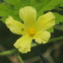 bittergourd male flower