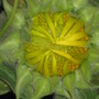 short sunflower (Helianthus)