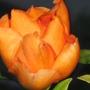 pereskia (Cactaceae)