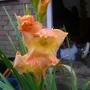 Gladiolus Princess Margret Rose. (Gladiolus byzantinus)