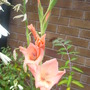 another un named gladiolus. (Gladiolus byzantinus)