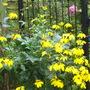 Rudbeckia herbstsonne (Rudbeckia herbstsonne)