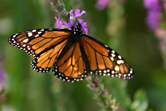 Monarch on Purple Loosestrife (Lythrum salicaria L.)