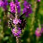 Spiceweed_swallowtail2_a_small_