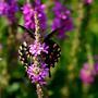 Purple Loosestrife (Lythrum salicaria L.)