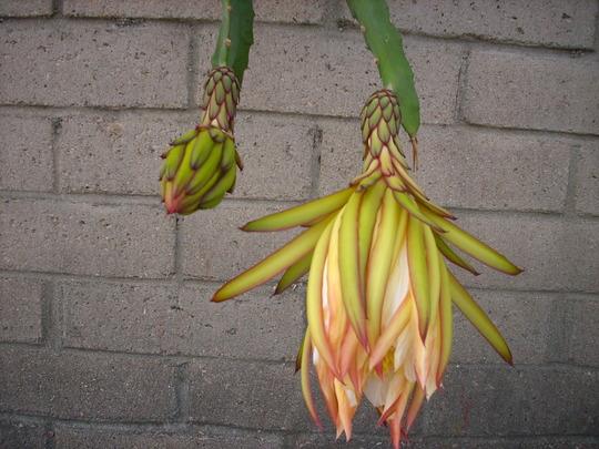 Hylocereus undatus - Red Pitaya, Dragon Fruit Cactus (Hylocereus undatus - Red Pitaya, Dragon Fruit Cactus)