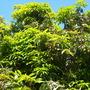 Mangifera indica - Mango Tree - San Diego, CA. (Mangifera indica - Mango Tree)