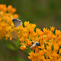 Butterfly_weed_with_an_eastern_tailed_blue_butterfly