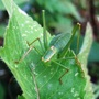 Speckled_bush_cricket_09