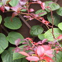 Autumn Foliage of Blueberry Bush