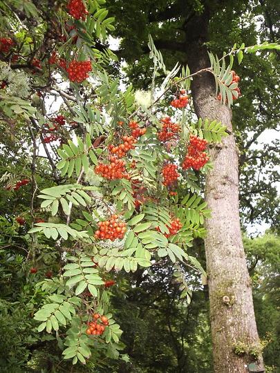 Rowan Berries (Sorbus aucuparia (Mountain ash))