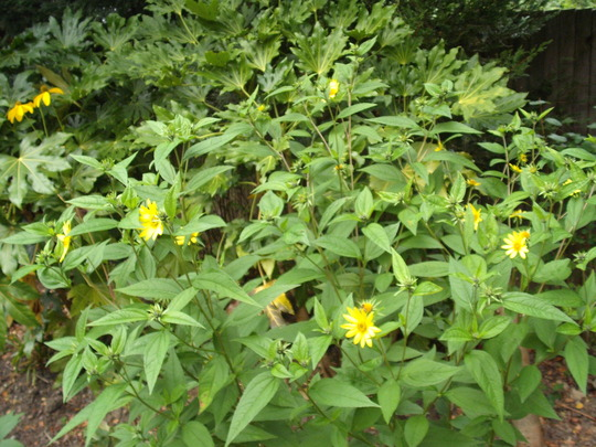 Helianthus_lemon_queen.jpg (Helianthus multiflorus)