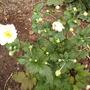 anemone_Honorine_Jobert.jpg (Anemone)