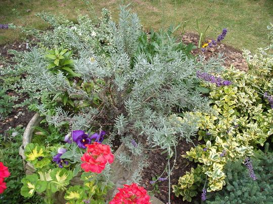 Urn_with_self_seeded_lavender.jpg