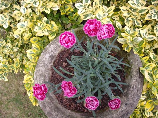 Dianathus Odessa Purple (Dianthus)