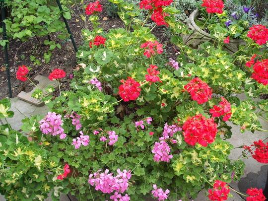 container_of_geraniums.jpg (Pelargoniums)