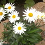leucanthemum broadway lights (leucanthemum broadway lights)
