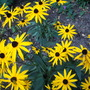 Rudbeckia Goldstrum (Rudbekia Fulg. Goldstrum)