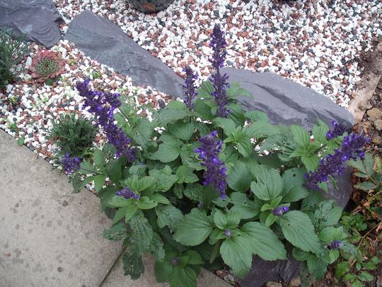 Salvia Mystic Spires Blue (Salvia mystic spires)