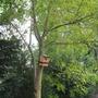 new nesting bow in Indigofera Tinctoria - Leguminosae (Leguminosae)