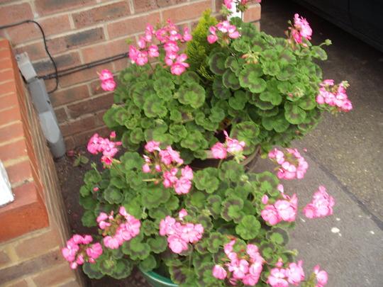 pots of_geranium.jpg (Pelargoniums)