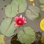 water_lily.jpg