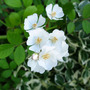 Multiflora_rose
