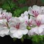 Pelargonium peltatum (Hanging Geranium)