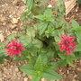Monarda Bergamot Scarlet Bee Balm (Monarda Mahogany Bergamot)