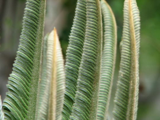 Cycas revoluta - close-up of the new leaves (Cycas revoluta)