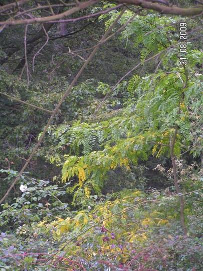 Gleditsia triacanthos (Gleditsia triacanthos (Honey locust))