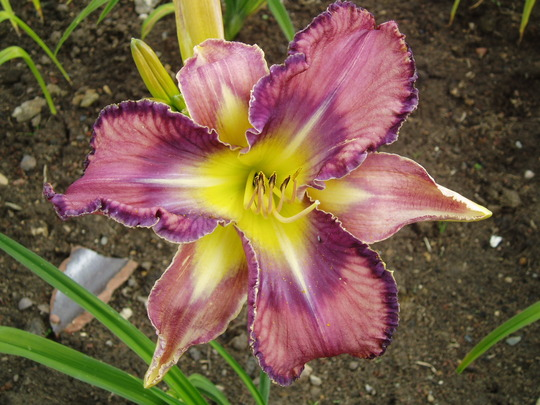 Daylily Mildred Mitchell (Hemerocallis)